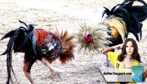 10 Cara Berternak Ayam Aduan Betet