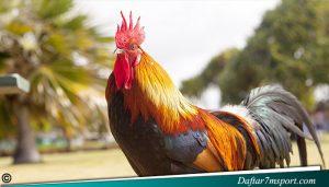 Jual Beli Ayam Adu Bangkok