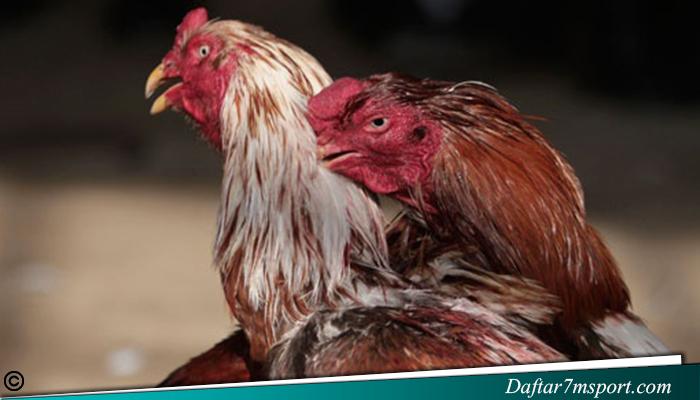 Menentukan Jenis Ayam Petarung Bangkok