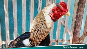 Tubuh Ayam Adu Bangkok