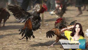 Tips Memprediksi kemenangan Dalam Sabung Ayam