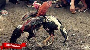 Pastikan Tau Teknik Rahasia Dari Ayam Bangkok