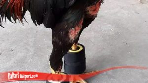 Ketahui Cara Besarkan Otot Kaki Ayam SV388