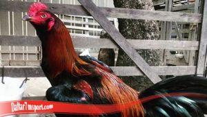 Keunggulan Miliki Ayam Bangkok S128