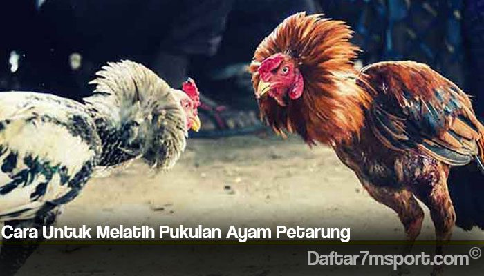 Cara Untuk Melatih Pukulan Ayam Petarung