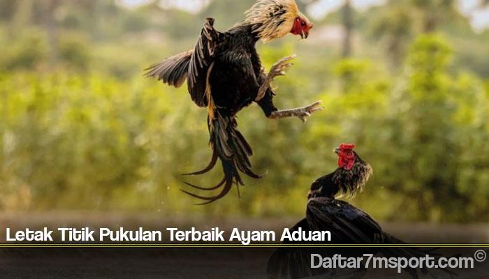 Letak Titik Pukulan Terbaik Ayam Aduan